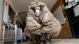 Avustralya'da, ormanda bulunan koyundan 35 kilo yün çıktı