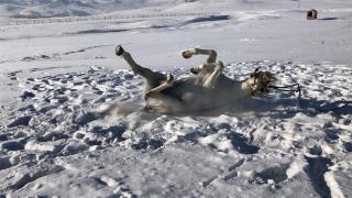 Cirit atı 'Poyraz'ın karda oyunu ilginç görüntüler oluşturdu