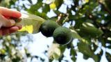 Salgında avokadonun satışı arttı