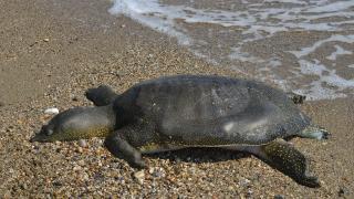 Sahilde ölü Nil kaplumbağası bulundu