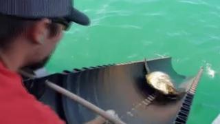 ABD'de donmaktan kurtarılan deniz kaplumbağaları suyla buluştu