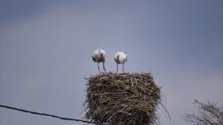 Göç etmeyen iki leylek köyün maskotu oldu