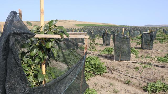 Çukurova çiftçisinin tropikal meyve üretimine ilgisi artıyor