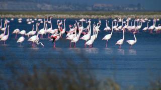 Allı turnalar Kuş Cenneti'ndeki danslarına başladı
