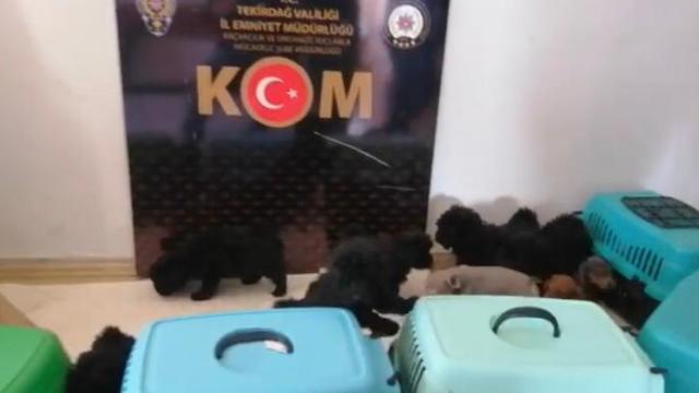 Tekirdağda yurt dışından kaçak sokulan 13 cins yavru köpek yakalandı