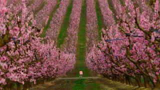 Çiçek açan şeftali ağaçlarının etkileyici manzarası