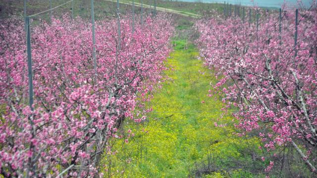 Amik Ovasında meyve bahçeleri çiçek açtı