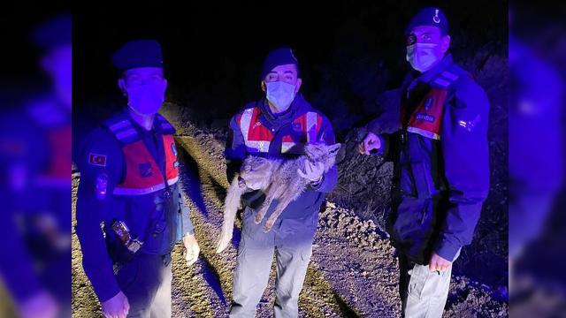 Jandarmanın bulduğu yaralı tilki tedaviye alındı