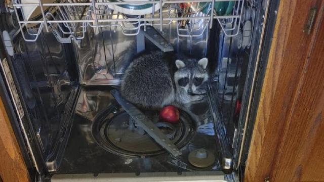 Eve giren rakun bulaşık makinesinde uyuyakaldı
