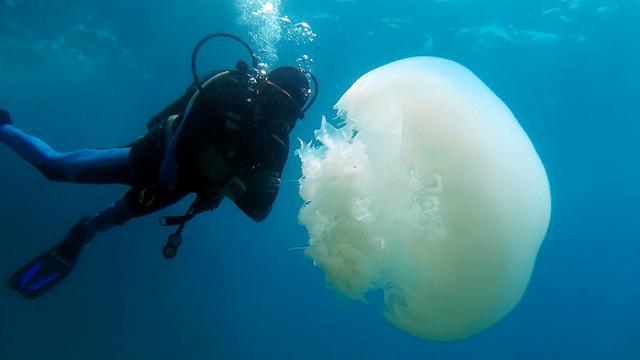Antalya Körfezinde denizanası yoğunluğu