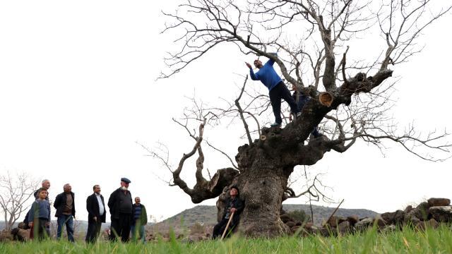 Yılda yaklaşık 200 kilogram fıstık veren asırlık ağacın bakımı imece usulü yapılıyor
