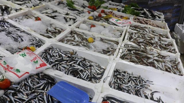 Hamsi azalınca balıkçılar çaça avına başladı