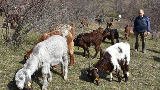 Almanyadaki kariyerini bırakıp köyüne dönen makine mühendisi keçi yetiştiricisi oldu