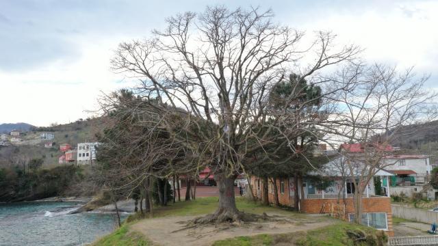 Orduda 140 yıllık ıhlamur ağacı anıt ağaç olarak tescillendi