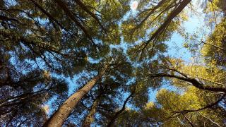 Kanada'da kereste hırsızlarına karşı orman devriyesi arttırıldı