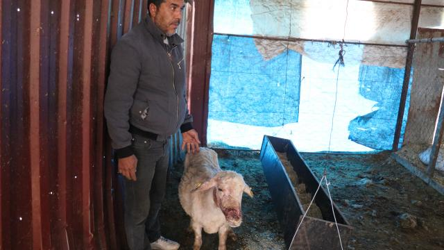 Hatayda köpeklerin saldırdığı 4 koyun telef oldu