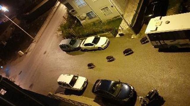 İzmirde domuz sürüsü şehre indi