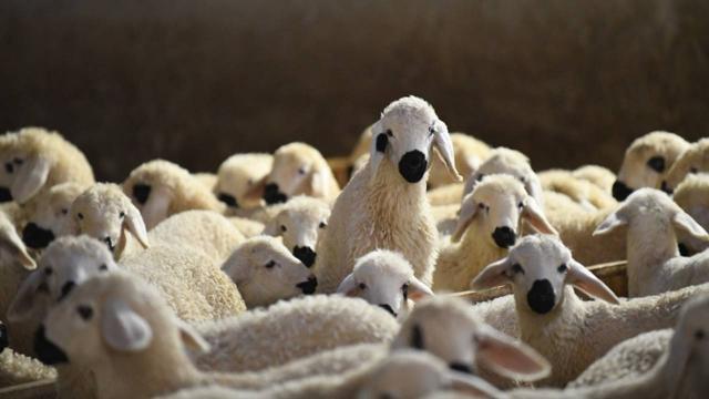 Hayvancılık destek ödemeleri başlıyor