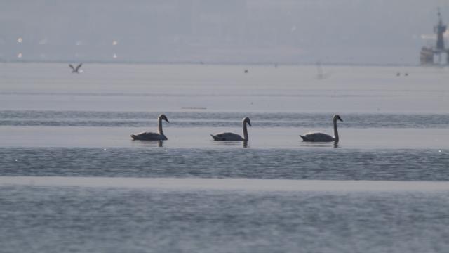 İzmit Körfezi flamingo ve kuğuları ağırlamaya başladı