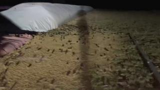 Avustralya'da fare istilası: Acil eylem planı istendi