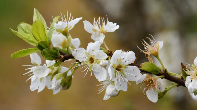 Manisada meyve ağaçları çiçek açtı