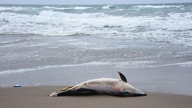 Bartında ölü yunus kıyıya vurdu