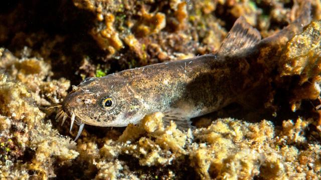 Van Gölündeki ikinci balık türü: Küçük mercan