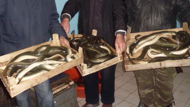 Yılan balığı avcılığı için belge zorunluluğu