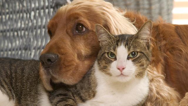 Kedilerin koronavirüse yakalanma ihtimali köpeklerden daha yüksek