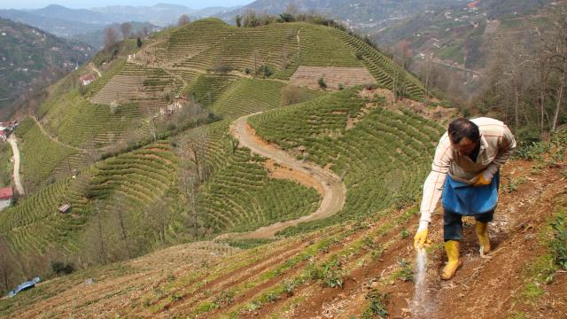 Doğu Karadenizde çay üreticilerine kısıtlama muafiyeti getirildi