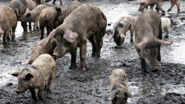 Çinde bir çiftlikte Afrika domuz vebası tespit edildi