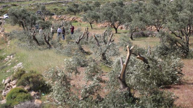 Yahudi yerleşimciler Filistinlilerin zeytin ağaçlarını kesti