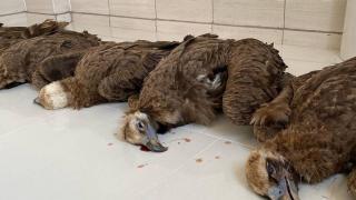 Nesli tükenme tehlikesindeki 7 kara akbaba ölü bulundu