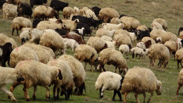 Yüksekovada karların erimesiyle koyunlar meralara çıkmaya başladı