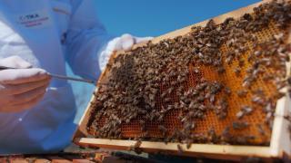 Arı popülasyonunun azalması neleri etkiliyor?