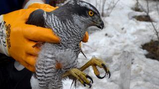 Kars'ta küçük çocuğun yaralı bulduğu atmaca tedavi altına alındı