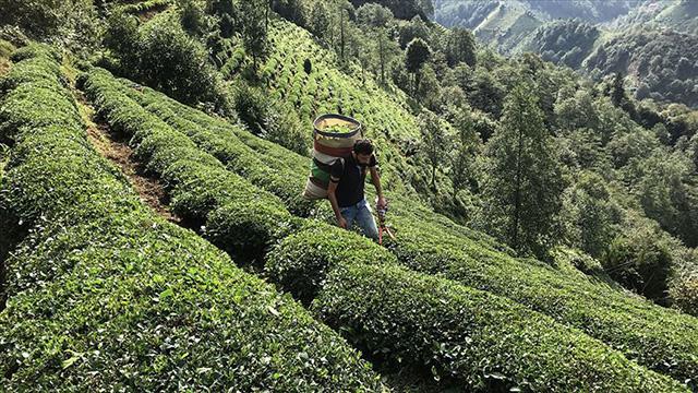 ÇAYKUR geçen yıl 752 bin ton yaş çay aldı