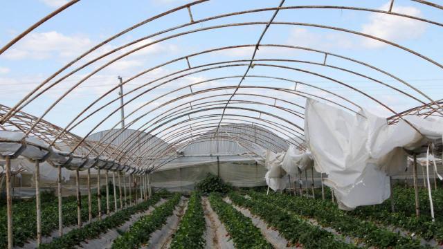 Antalyada fırtına: Sera örtüleri uçtu, ürünler zarar gördü