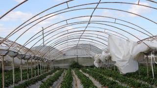 Antalya'da fırtına: Sera örtüleri uçtu, ürünler zarar gördü