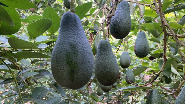 Türkiyenin avokado üretimi 18 bin tonu buldu