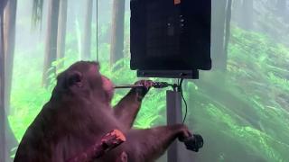 Maymun Pager beyin gücüyle bilgisayar oyunu oynadı