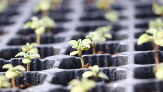 Tekirdağ'da çiftçilere gelirlerinin artırılması amacıyla 56 bin ada çayı fidesi dağıtıldı