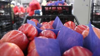 Isparta elması 10 ülkeye ihraç ediliyor