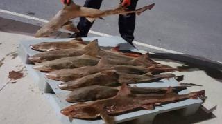 Balık halinde 2,5 ton kaçak avlanan balığa el konuldu