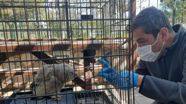 Balıkesirde nesli tehlike altındaki ulu doğan kuşu ile bir şahin yaralı bulundu