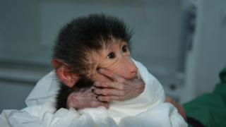 Babun maymunu 'Nisan' ile sırtlan 'Seko' Tarsus Doğa Parkı'nın yeni üyeleri oldu