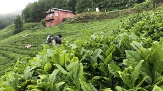 Selden etkilenen yaş çay fabrikaları üretime geçti
