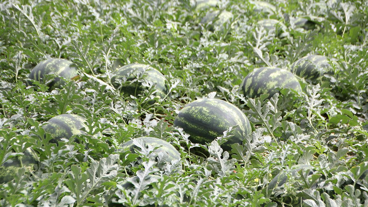 Yılın ilk karpuz hasadı Antalya'da başladı