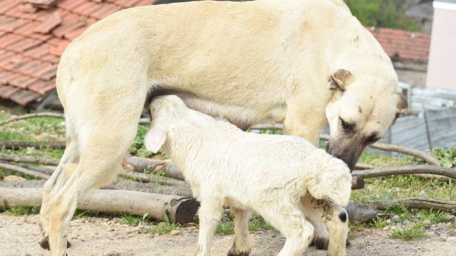 Çoban köpeği kuzunun süt annesi oldu