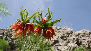 İki hafta ömrü olan ters laleler Sakız Dağı'nda çiçek açtı